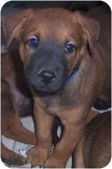 Shepherd (Unknown Type) Mix Puppy for adoption in Richmond, Virginia - Gilbert