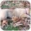 Photo 2 - German Shepherd Dog/Labrador Retriever Mix Puppy for adoption in Brattleboro, Vermont - Sisco