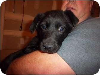 Labrador Retriever Mix Puppy for adoption in Westminster, Colorado - Cooper