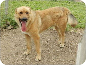 Chow Chow/Shepherd (Unknown Type) Mix Dog for adoption in Lawrenceburg, Tennessee - Rocket