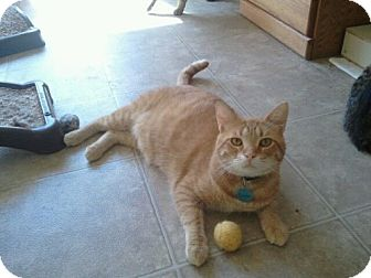 Domestic Shorthair Cat for adoption in Grand Rapids, Michigan - Carson