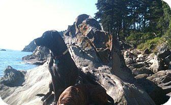 Pit Bull Terrier Mix Dog for adoption in Bellingham, Washington - Daisy