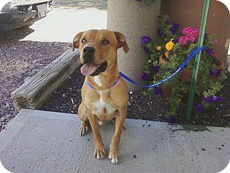 Rottweiler Mix Dog for adoption in Chino Valley, Arizona - Buck