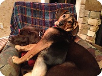 Beagle/Bloodhound Mix Puppy for adoption in Laingsburg, Michigan - Kiley