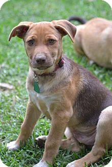 Shepherd (Unknown Type)/Labrador Retriever Mix Puppy for adoption in El Cerrito, California - Cooper