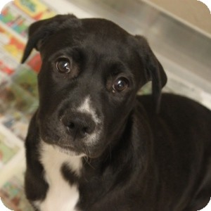 Labrador Retriever Mix Puppy for adoption in Naperville, Illinois - Dee