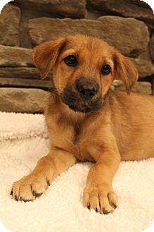 Labrador Retriever/Shepherd (Unknown Type) Mix Puppy for adoption in Wytheville, Virginia - Java