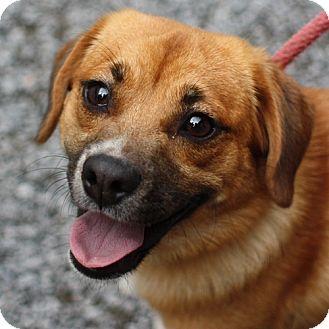 Pekingese Mix Dog for adoption in Lyons, New York - Missy