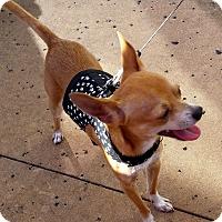 Adopt A Pet :: Antonio - AUSTIN, TX