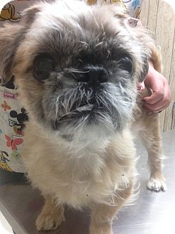 Brussels Griffon Mix Dog for adoption in Mine Hill, New Jersey - Gordon