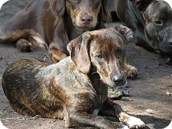 Dachshund Mix Dog for adoption in Middleburg, Florida - Lilly