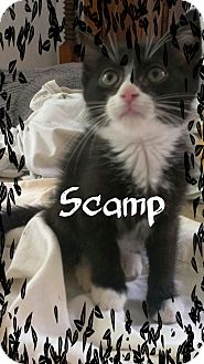 Domestic Shorthair Kitten for adoption in Ringgold, Georgia - Scamp