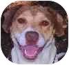 Hound (Unknown Type)/Terrier (Unknown Type, Medium) Mix Puppy for adoption in Eatontown, New Jersey - Katie