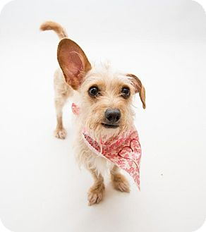 Dachshund/Wirehaired Fox Terrier Mix Dog for adoption in Atlanta, Georgia - Sydney