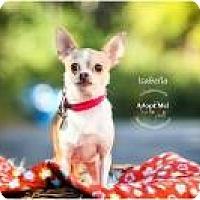 Adopt A Pet :: Isabella - Shawnee Mission, KS
