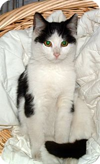 Domestic Shorthair Cat for adoption in Lisbon, Ohio - Brooke ADOPTED!