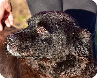 Flat-Coated Retriever/Golden Retriever Mix Dog for adoption in New Canaan, Connecticut - Stella