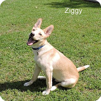 Shepherd (Unknown Type)/Labrador Retriever Mix Puppy for adoption in Slidell, Louisiana - Ziggy