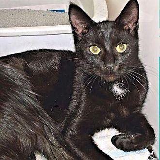 Domestic Shorthair Cat for adoption in Petersburg, Virginia - Breezy