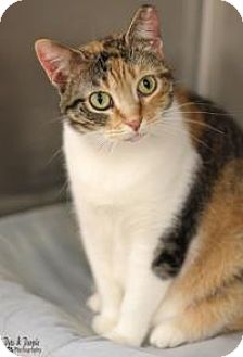Calico Cat for adoption in Yukon, Oklahoma - Heather