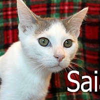 Domestic Shorthair Cat for adoption in Wichita Falls, Texas - Saia
