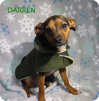Chihuahua Dog for adoption in Batesville, Arkansas - Darren