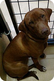 Vizsla/Labrador Retriever Mix Dog for adoption in Divide, Colorado - Sharlete