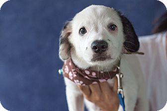 Labrador Retriever Mix Puppy for adoption in Vancouver, British Columbia - Panda