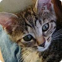 Domestic Shorthair Kitten for adoption in Duluth, Georgia - Bunnie