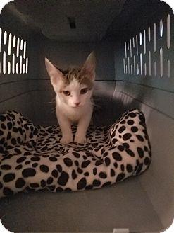 Domestic Shorthair Kitten for adoption in Livonia, Michigan - Twister
