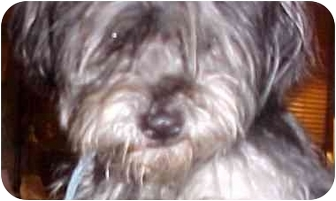 Lhasa Apso Mix Dog for adoption in Spring Valley, California - Muffy