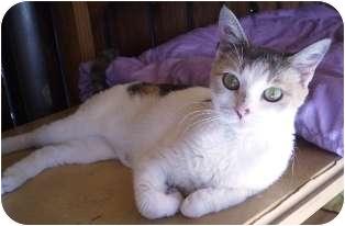 Calico Cat for adoption in Pasadena, California - Peaches