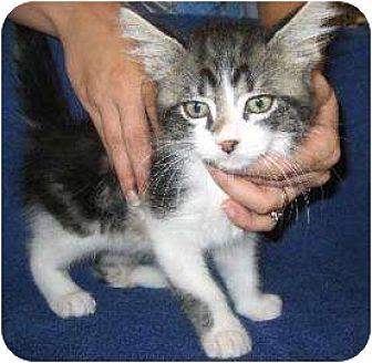Domestic Mediumhair/Domestic Shorthair Mix Cat for adoption in Schertz, Texas - Joey