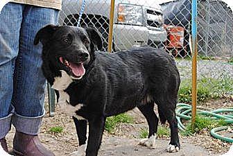 Border Collie/Labrador Retriever Mix Dog for adoption in Tunica, Mississippi - Sabrina