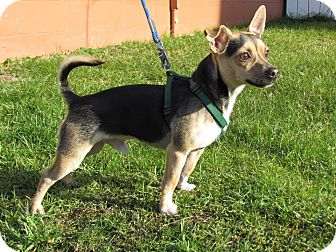 Lancashire Heeler/Chihuahua Mix Dog for adoption in Hastings, New York - Max