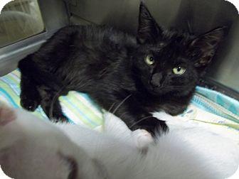 Domestic Shorthair Kitten for adoption in Brownsville, Texas - Jaime