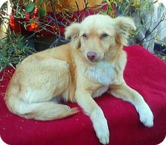 Sheltie, Shetland Sheepdog Mix Dog for adoption in Santa Monica, California - GOLDIE