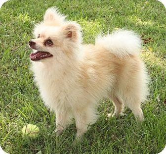 Pomeranian Mix Dog for adoption in Salem, New Hampshire - Maxwell