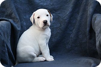 Boxer/Beagle Mix Puppy for adoption in West Milford, New Jersey - VANILLA-pending