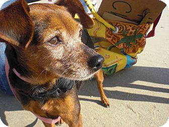 Miniature Pinscher Mix Dog for adoption in Burbank, California - Pinot