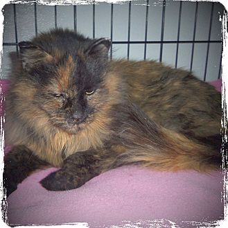 Domestic Longhair Cat for adoption in Medford, Wisconsin - MOTTSIE
