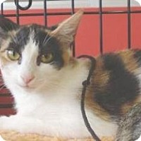 Domestic Shorthair Kitten for adoption in Miami, Florida - Pocketchange