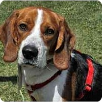 Adopt A Pet :: Charlie Mack - Phoenix, AZ