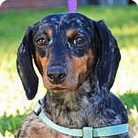 Adopt A Pet :: *Suzy - PENDING - Westport, CT