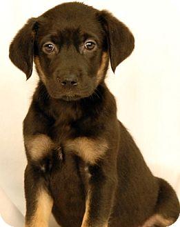 Rottweiler/Shepherd (Unknown Type) Mix Puppy for adoption in Newland, North Carolina - Cookie