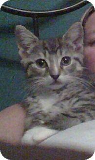 Domestic Shorthair Kitten for adoption in Smithfield, North Carolina - Prince Charming