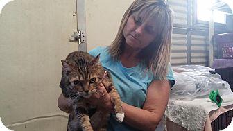 Domestic Shorthair Cat for adoption in Darlington, South Carolina - Holly