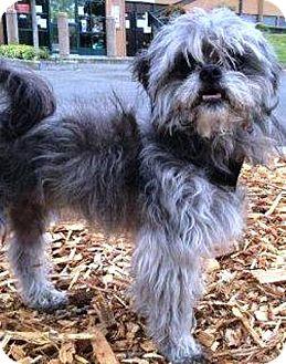 Shih Tzu Mix Dog for adoption in Fremont, California - Bear