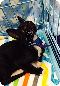 Domestic Shorthair Kitten for adoption in Mansfield, Texas - J-Cee
