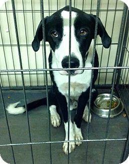 Great Dane/Border Collie Mix Puppy for adoption in Phoenix, Arizona - Giant